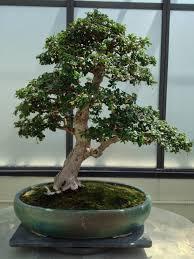 pot bonsai design fukien tea bonsai trees