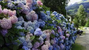 lilac bush wallpaper