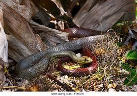 Madagascar Blind Snake Tiny Snake Stock Photos U0026 Tiny Snake Stock Images Alamy