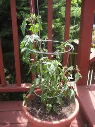 Types Of Patio Tomatoes Container Tomatoes Tips On Growing Tomatoes In Containers