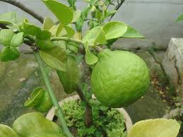 free photo tree lime citrus hystrix fruit kaffir lime green max