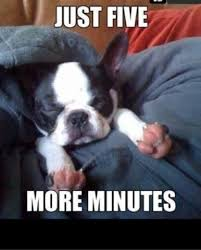 Boston Terrier Meme - boston terrier puppy memes memes pics 2018