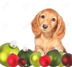 dachshund puppy surrounded by christmas ornaments stock photo