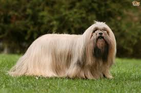 american eskimo dog cost in india lhasa apso dog breed information buying advice photos and facts
