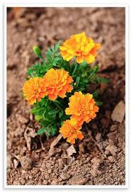 marigolds in the garden for pest control and beauty yard and