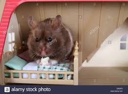 Hamster Bed Syrian Hamster Eating In Toy Bed Stock Photo Royalty Free Image