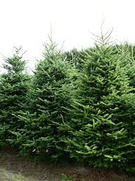 real fraser fir trees freshly cut trees