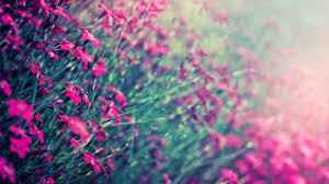 pink color images pink hd wallpaper and background photos 10579442 pink black background gidiye redformapolitica co