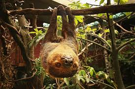 4 toed sloth 10 things you probably didn t about sloths