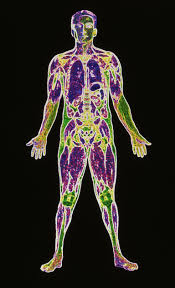 A Picture Of The Human Anatomy Elemental Composition Of The Human Body By Mass