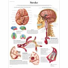 Anatomy And Physiology Of Copd Anatomical Charts Neurological Posters Pathology Posters