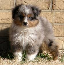 mini australian shepherd 4 months puppy uglies