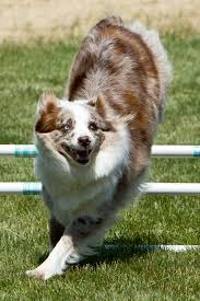 australian shepherd youtube aussie agility the australian shepherd excells in this sport