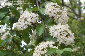 White Flowering Shrub - plant identification closed white flowering shrub tree id 3 by