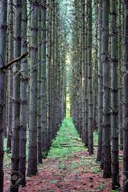 row of a planted pine tree forest stock photo picture and royalty