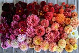 dahlias flowers how to grow dahlias floret flowers