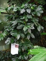Plants To Grow Indoors Houseplants Coffee Plant How To Grow Coffee Plant
