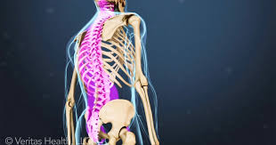 Anatomy And Physiology Of The Back Spinal Anatomy And Back Pain