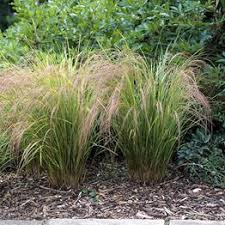 ornamental grasses now for a dramatic display large assortment
