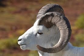 Alaska wild animals images Dall sheep in denali animal wildlife alaska dall she flickr jpg