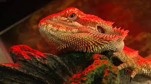 Reptile Heat Lamps Safety by G The Bearded Dragon Basking Under His Heat Lamp Hd Youtube