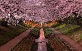 yokohama cherry blossoms in bloom pics
