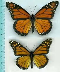 monarch butterflies shrink get paler after skipping a meal