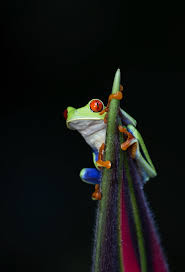eyed tree frog i made it to the top nature s tapestry