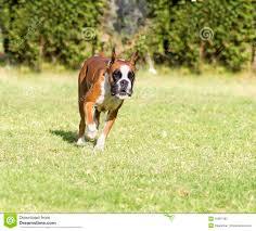 boxer dog white boxer dog stock photo image 49861151