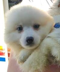 american eskimo dog growling view ad american eskimo dog dog for adoption minnesota