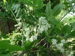 tree with white flowers white flowering tree raleigh locust live yard best raleigh