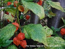 Japanese Lantern Plant Browse And Search The Tortoise Table Plant Database