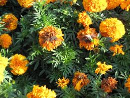 Marigolds Shade by Botrytis Disease In Marigolds Can Be Avoided What Grows There