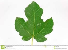 fig tree leaf shape