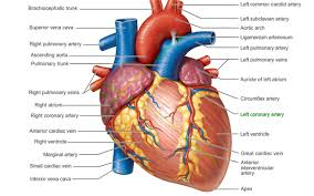exercise 30 anatomy of the heart at best anatomy learn