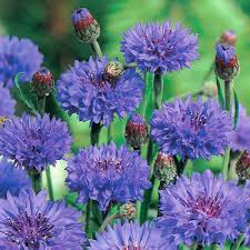cornflower blue cornflower blue plants from mr fothergill s seeds and plants