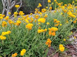 australian native plant society natives 3 tips for a high impact australian garden u2013 janna