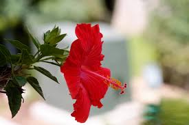 Which State Has A Hibiscus by Hibiscus Rosa Sinensis Wikiwand