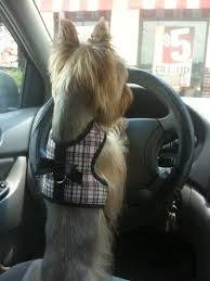 50 damn cute yorkie haircuts for your puppy u2013 hairstylecamp