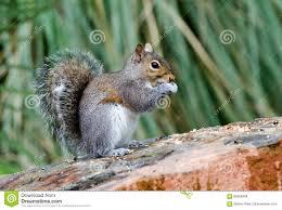 eastern gray squirrel athens georgia stock photo image 86966349