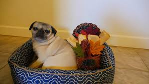 happy thanksgiving from nickie the pug about pug
