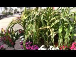 floranova s field of dreams ornamental corn