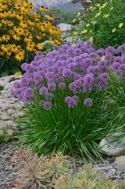 millenium ornamental allium hybrid proven winners