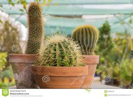 background cacti nature clay cactus pot flower plant