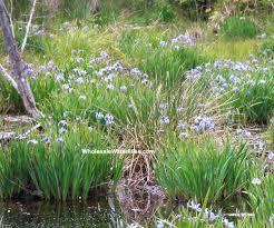 Iris Flag Blue Flag Bog Iris Iris Versicolor Native Pond Megastore