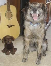 australian shepherd australian cattle dog mix texas heeler dog breed information and pictures