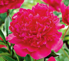 Peonies For Sale 3500 Best Peonies Cultivars Images On Pinterest Peony Flowers