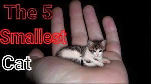 the 5 smallest cat breeds youtube