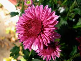Flowers Information - information about chrysanthemums flower buying guide and price
