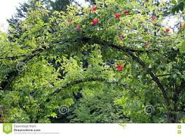 grapevine arbor with climbing roses stock photo image 80003906